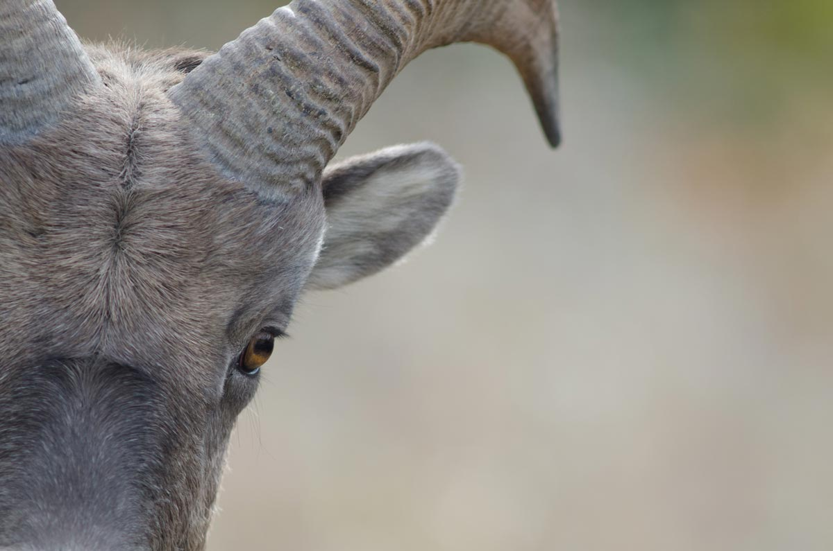A bighorn sheep close up on face and eye.