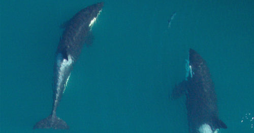 Southern Resident killer whales: J2 (right) and juvenile J45 (left) chasing a salmon.