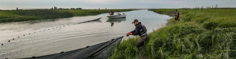 A Raincoaster adjusts a net ont he Lower Fraser River in the twilight and deep green grass.
