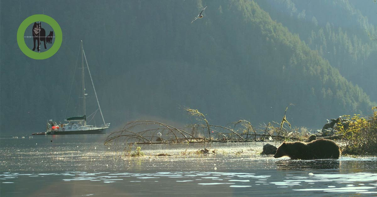 Achiever sits quietly on the coast of the Great Bear Rainforest while a bear wades through the shallow water in the foreground.