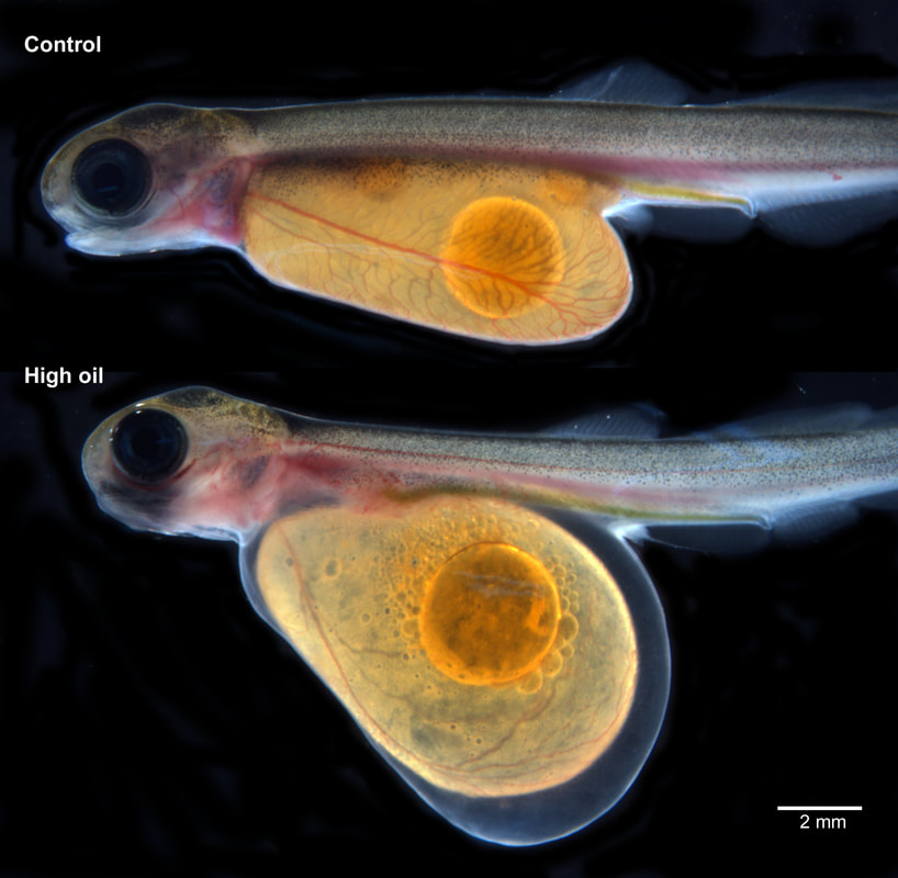 A pink salmon embryo (lower) that has been exposed to oil compared to an unexposed fry (upper). The exposed embryo exhibits yolk sac swelling, fin erosion, and cranial deformity.