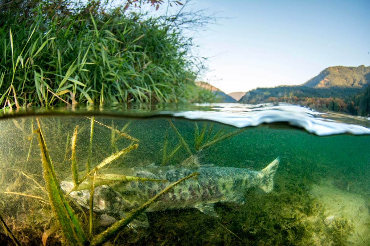 A salmon rests in the eelgrass on the Lower Fraser river salmon.
