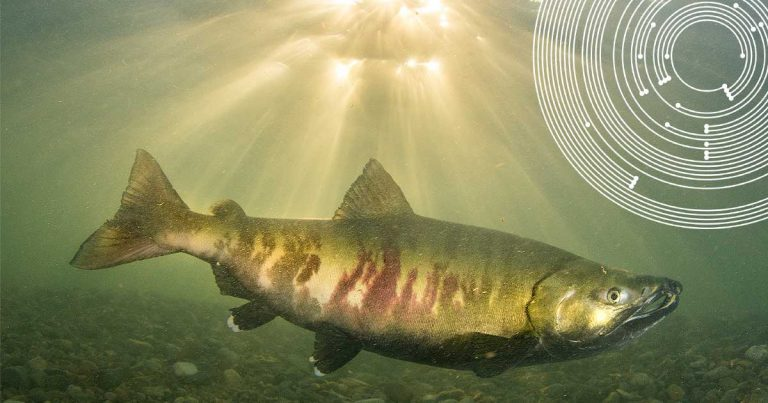 A salmon in the Fraser River, with sunlight streaming in behind.