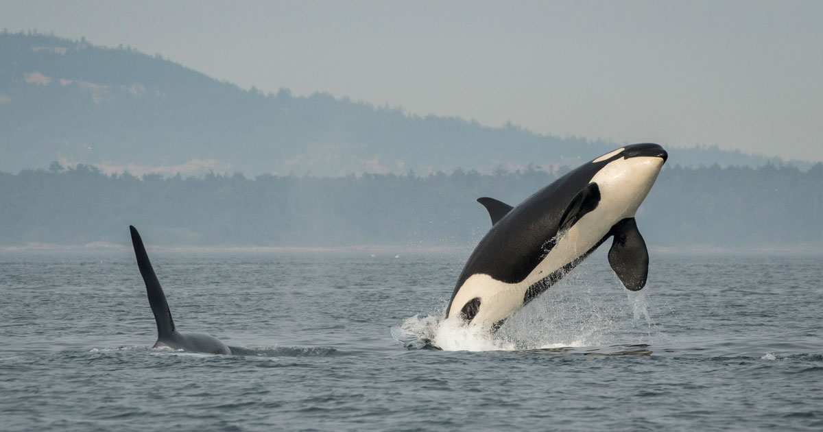 J16 and J26 on a smokey day in the Salish Sea.