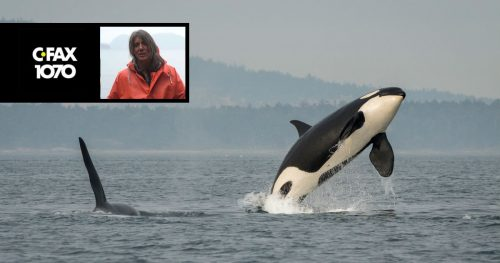 Two Southern Resident killer whales in the Salish Sea, with CFAX logo and Misty MacDuffee in the foreground