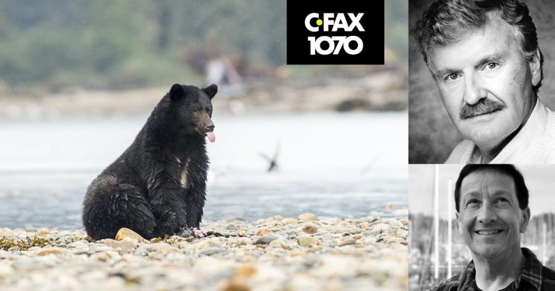 A black bear sits down in the river bank and sticks out it's tongue: Terry Moore and Chris Genovali.