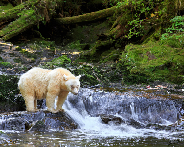 A white bear stands in a creek and a small waterfall in the Great Bear Rainforest.