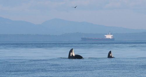 Southern Resident killer whales spy hop with oil tankers in the background.