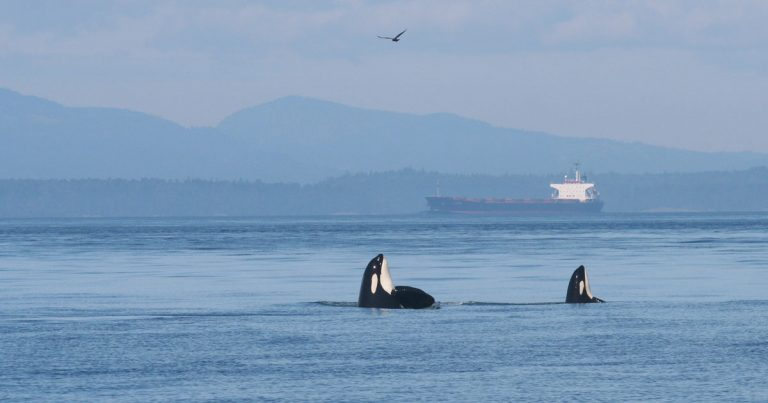 Still no adequate threat reduction measures for endangered killer whales