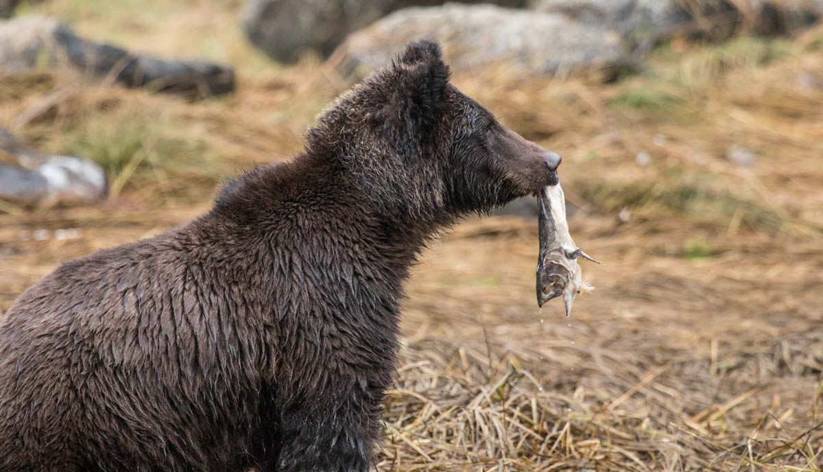 A grizzly bear peers curiously forward, pausing in the process of devouring a salmon.