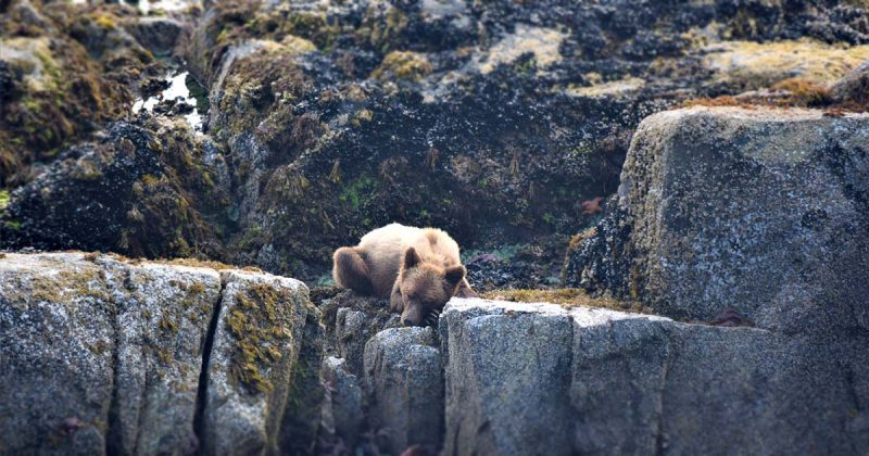 A juvenile Grizzly bear (Ursus arctos) rests between mussel-munching sessions.