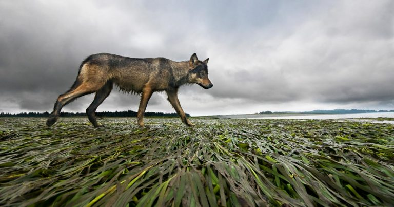 A wolf trots across the eel grass in the estuary.