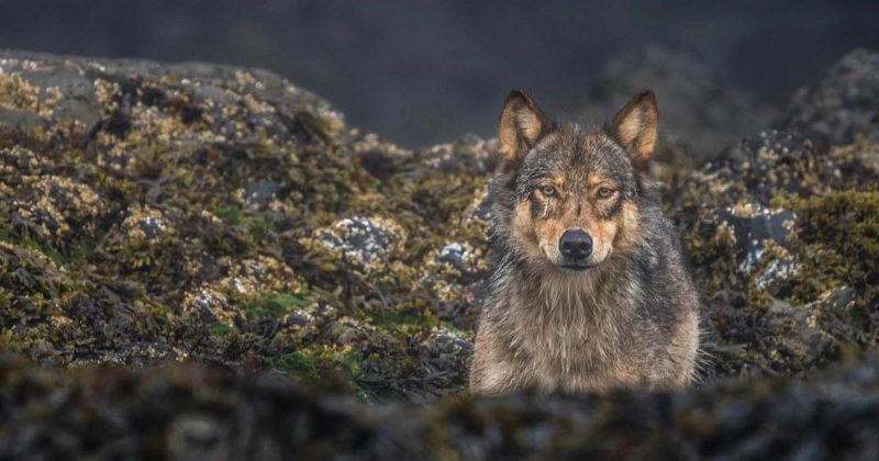 A wolf lies down and stares into the lens of the photographer from across the beach.