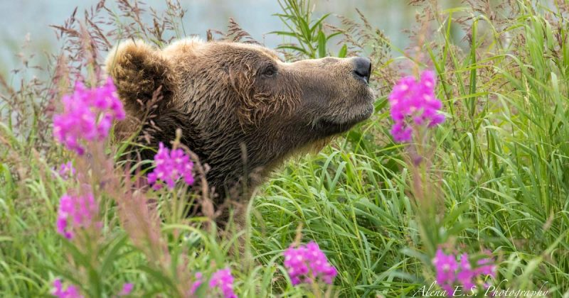A grizzly bear stands in the neck and head deep fireweed, sniffing the air.