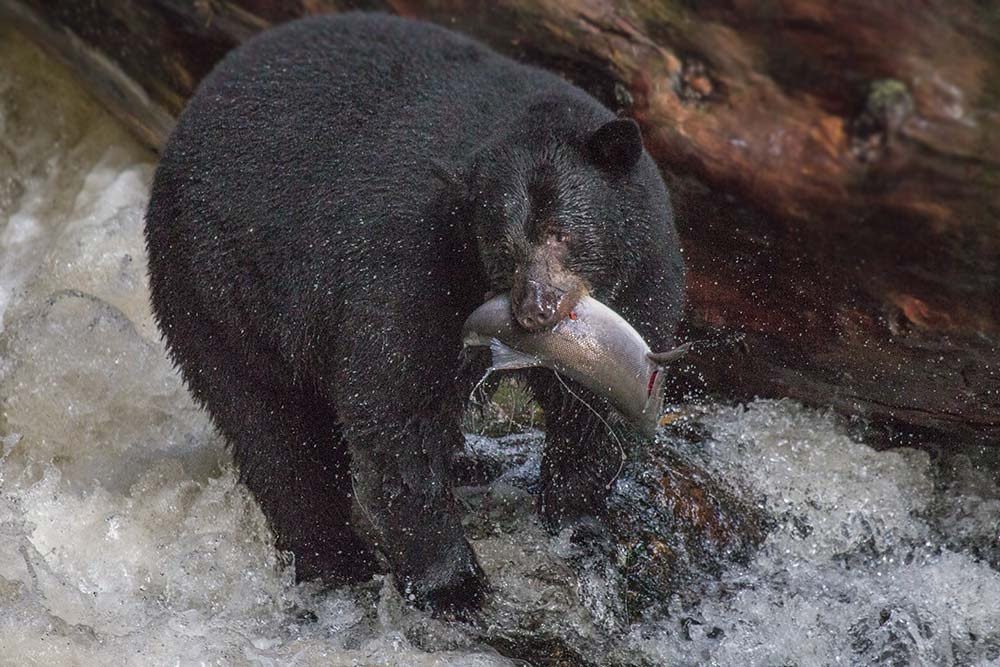 A black Kermode bear, emerges successfully from an early-fall fishing attempt.
