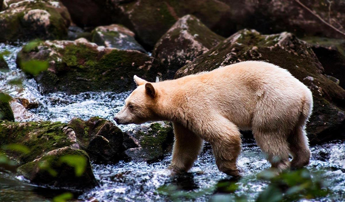 A Kermode bear (Ursus americanus kermodei), or spirit bear, seeks salmon during an early Fall run.