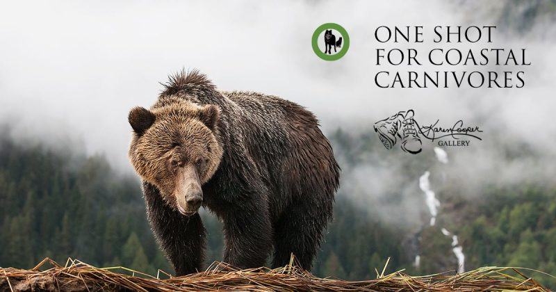 A grizzly bear stands on a river bank looking down, with mist and clouds floating behind it in the Great Bear Rainforest.