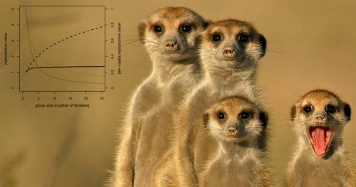A family of meerkats stand together watching, while a young member opens their mouth and shows their tongue.
