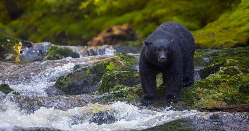 A black bear stands on mossy rocks at the river's edge.
