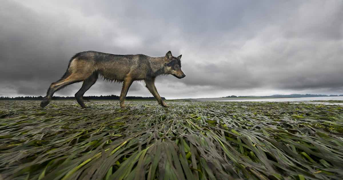 A coastal wolf caught in motion walking across seaweed.