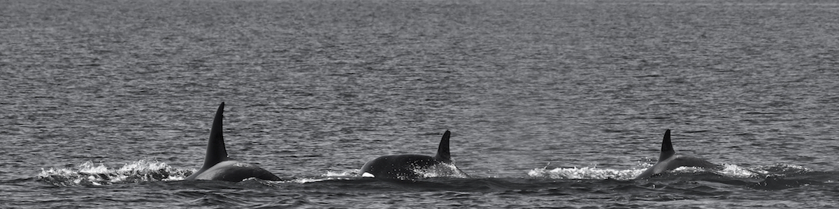 Southern Resident killer whales on the precipice