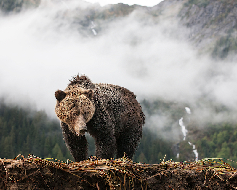 Brown bear with misty mountains in the background.