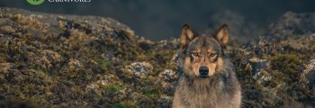 A wolf sits in the intertidal zone and stares out: Safeguard Coastal Carnivores.