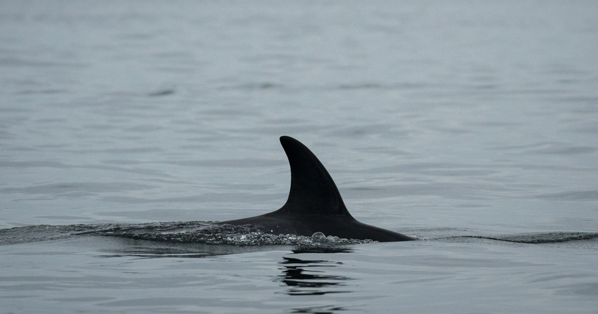 A Southern Resident killer whales, J50, glides through the water in the Salish Sea.