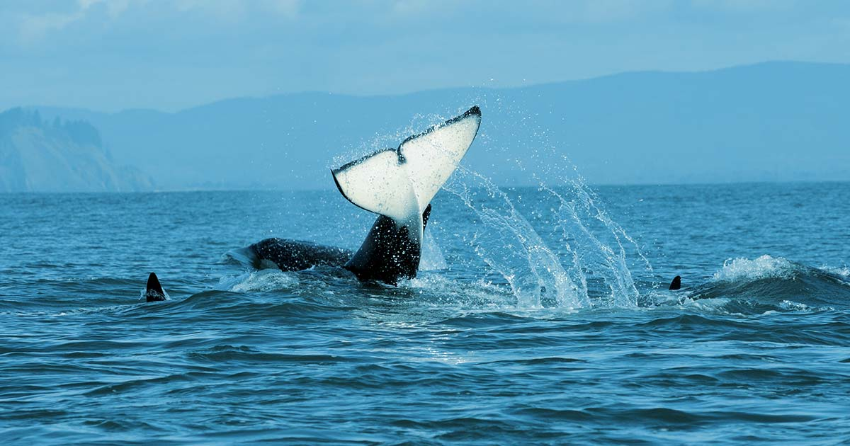 A Southern Resident killer whale smashes its tail down on the water.
