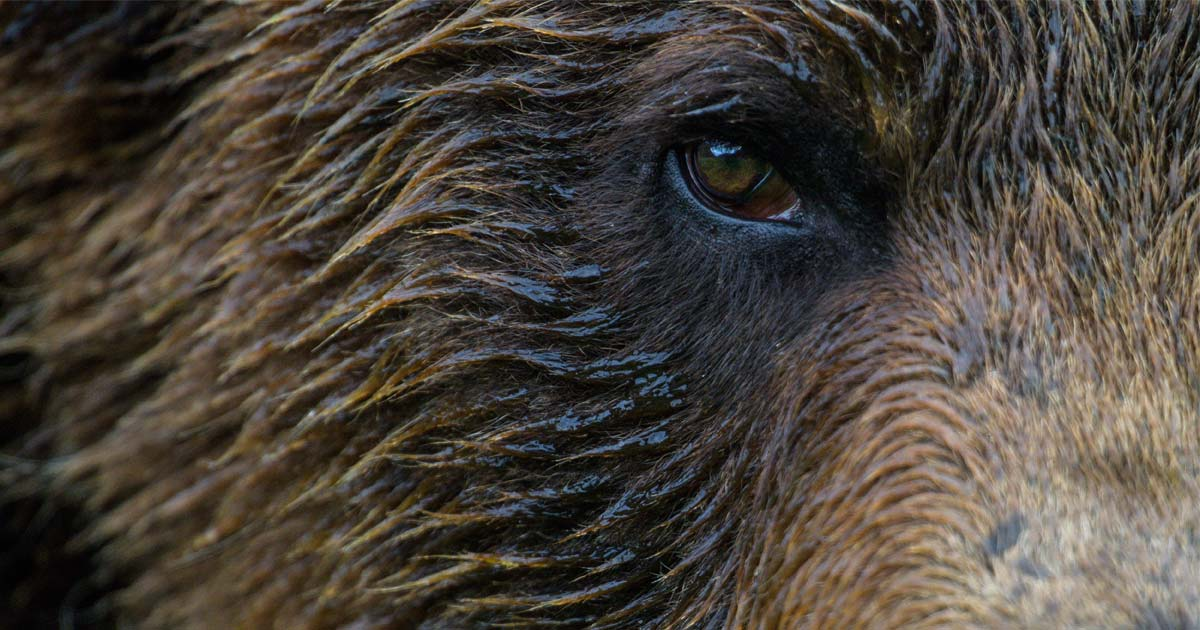 Close up of a grizzly face.