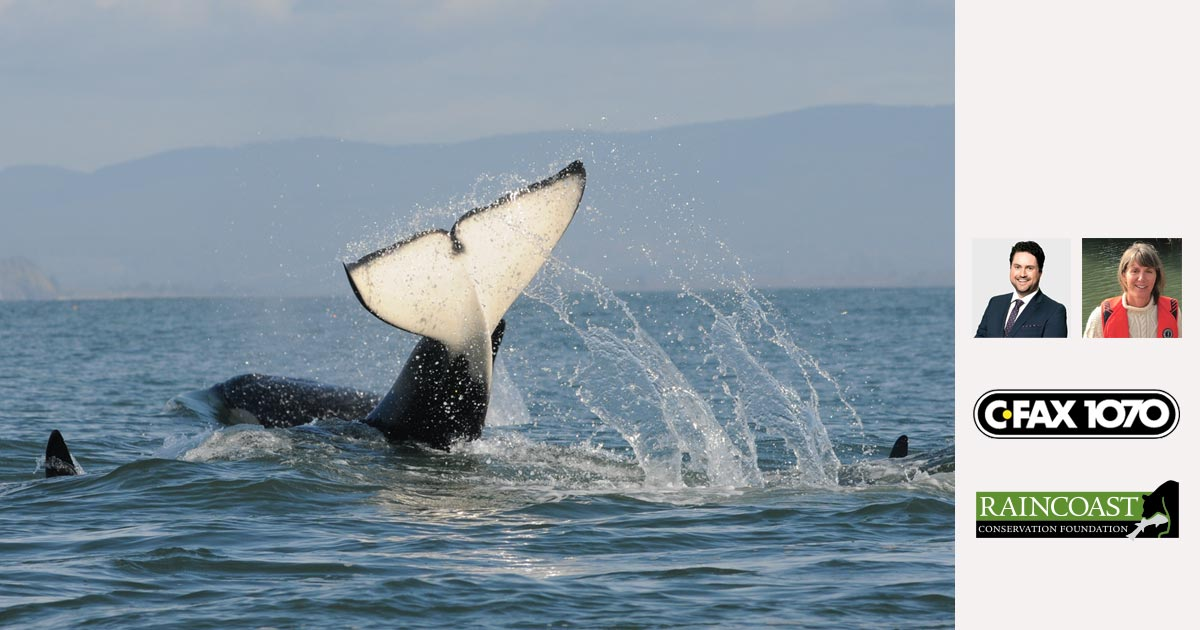 A Southern Resident killer whale slaps their tail in the Salish Sea.