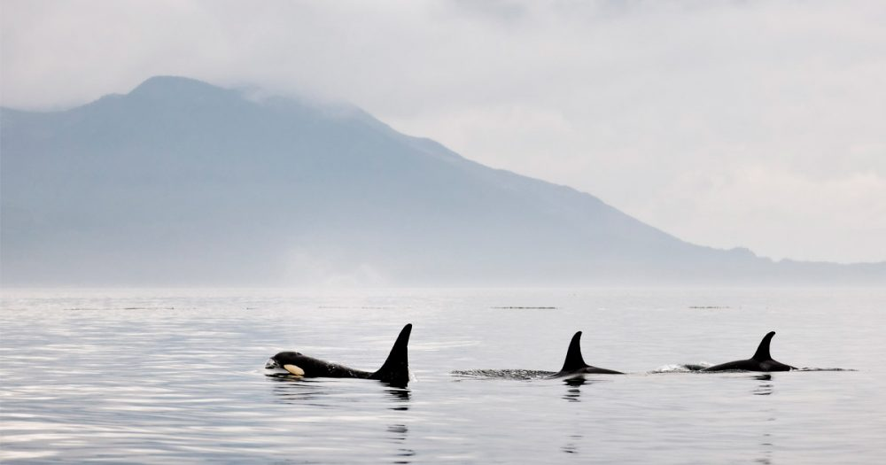 Southern Resident killer whales swim by in the Salish Sea.