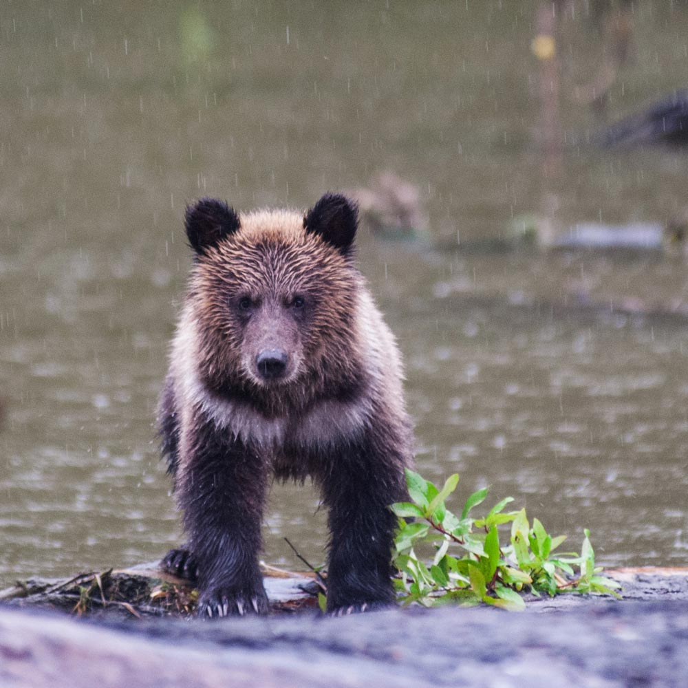 A small fuzzy grizzly bear cub stands near the water in the rain.