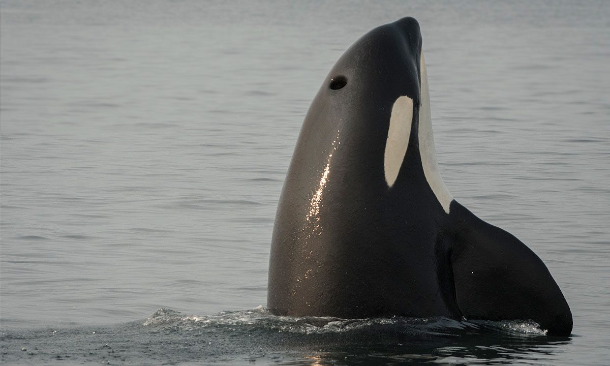 No mitigation measures can protect Southern Resident killer whales from the