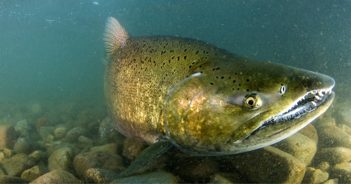 A salmon swims in to the current on the bottom of the Lower Fraser river: closeup of a salmon nose.