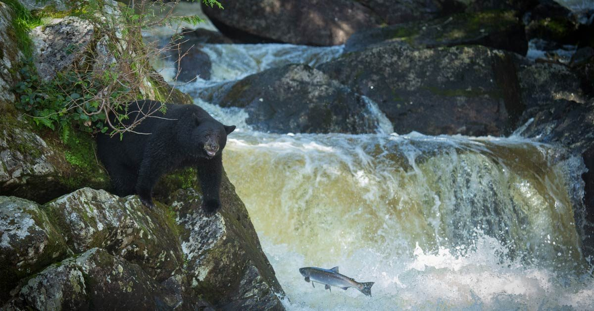A black bear on the left is standing on large mossy rocks. There is a stream with a small water fall the right, and a salmon is jumping out of the water in the direction of the bear. The bear has its left paw extended. It looks like a sunny day, although the sky is not in the photo.