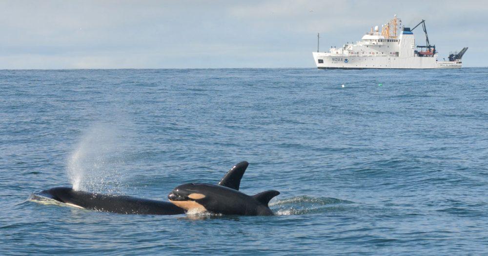 L121 and calf in the Salish Sea.