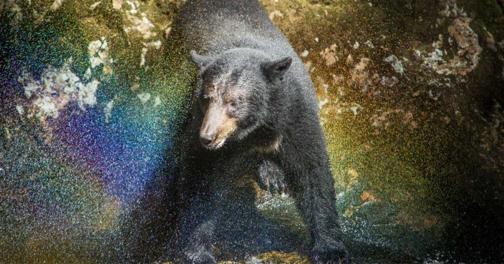 A black bear facing towards the camera and shaking water out of its coat. The water is catching the light to it looks like the bear is surrounded by a blue and purple and yellow and teal glittery rainbow.