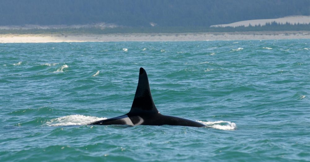 A single Southern Resident killer whale surfaces in the Salish Sea.