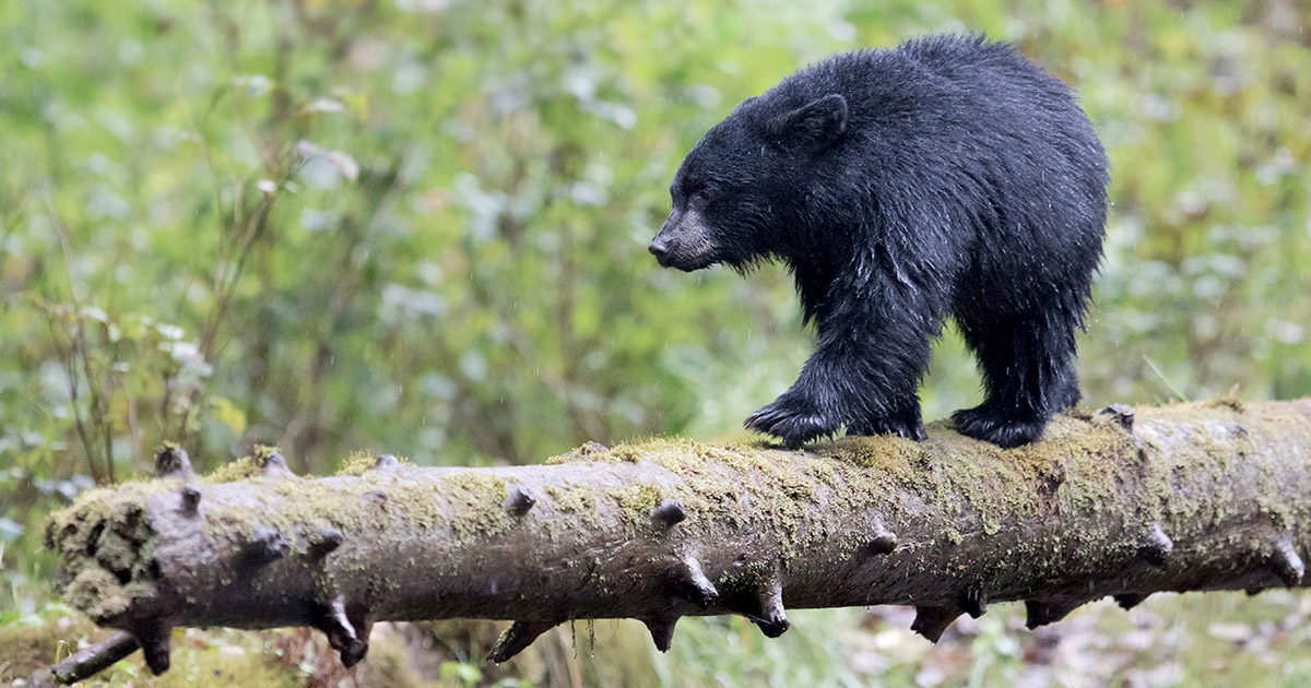 A small black bear balances on a fallen log in the rain.