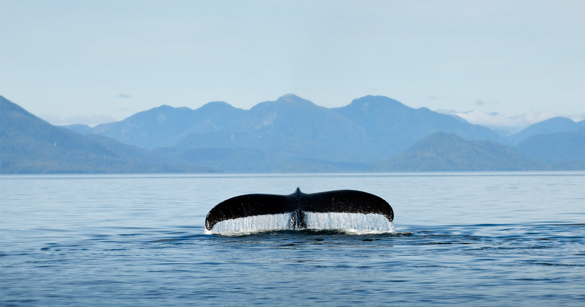 Humpback whale fluke breeches the water as the whale dives in the Pacific off the Great Bear Rainforest.