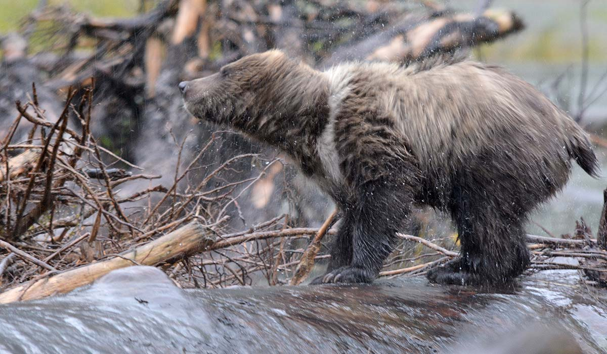 A grizzly bear shakes itself on a stream waterfall.