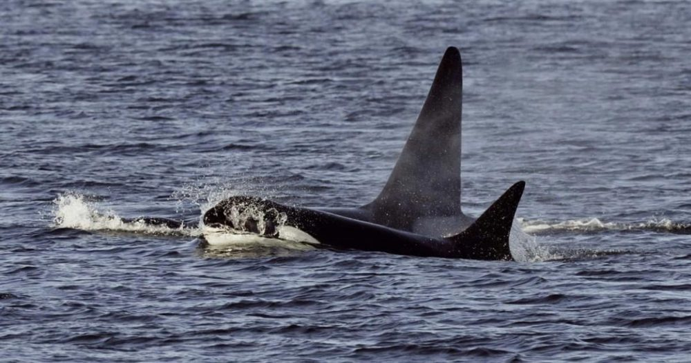 Two killer whales come to the surface of the Salish Sea.