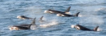 Southern Resident killer whales surface in a group in the Salish Sea.