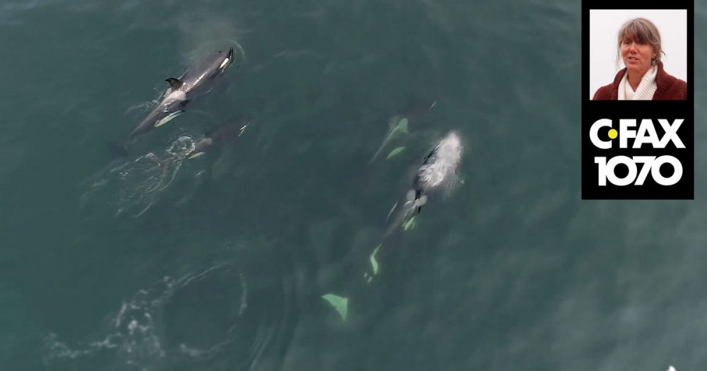 Aerial view of Southern Resident killer whales in the Salish Sea, and Misty Macduffee and CFAX logo in the foreground.