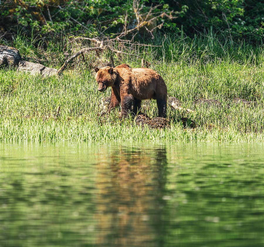Grizzly bear stands on the shore of the Great bear Rainforest.