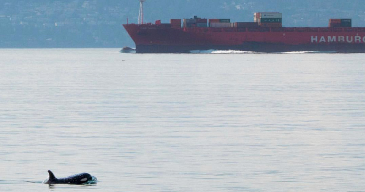 A killer whale in the foreground, with a container ship behind it in the mouth of the Fraser River.
