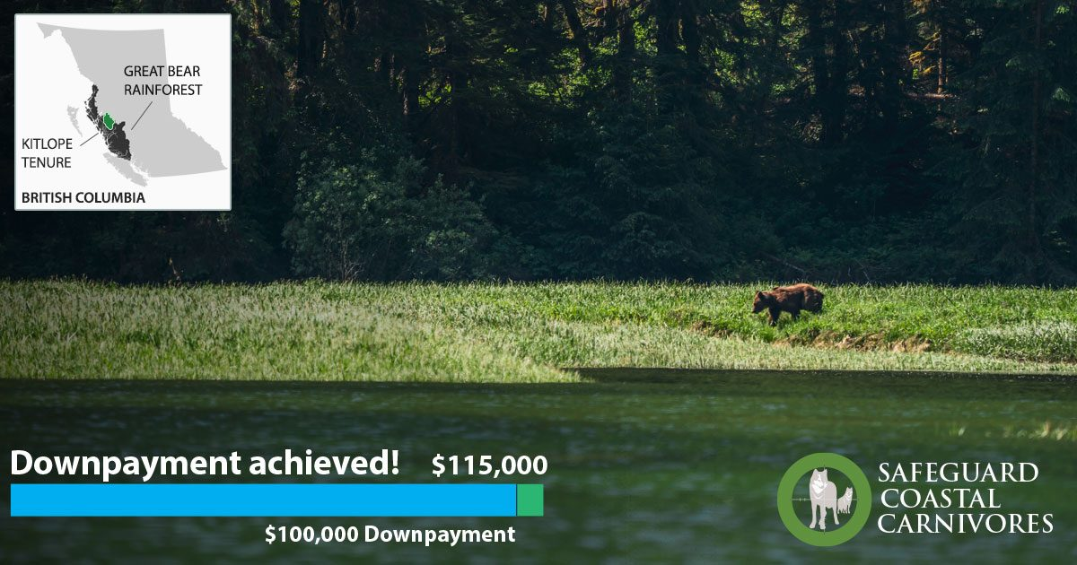 A grizzly bear wanders along a grassy bank in the Kitlope: a graphic identifying that the downpayment is achieved floats on top with a map of the coast.