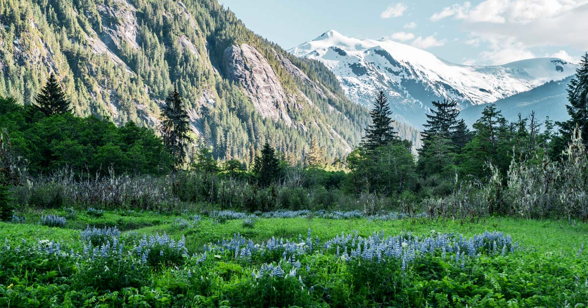 A stunning field of Lupin is framed by the epic mountains of the Kitlope.