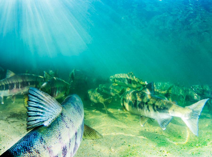 Salmon swimming into the sunlight.